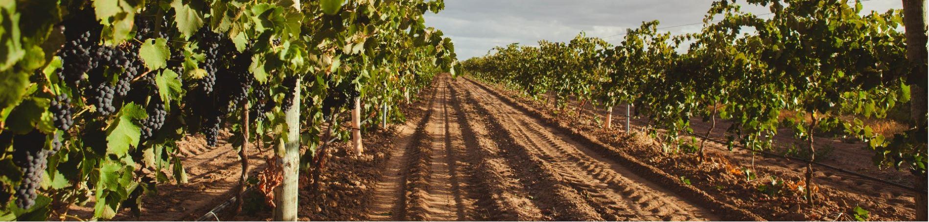 Nejlepší světové Syrahy pocházejí z australského Barossa Valley